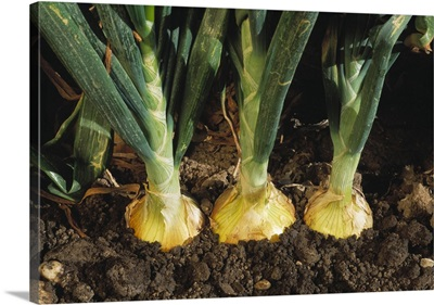 Closeup of three maturing ripe yellow onions in the ground