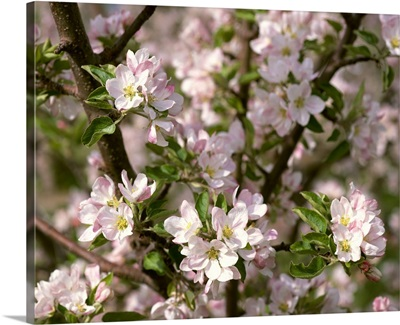 Closeup view of apple blossoms in full spring glory