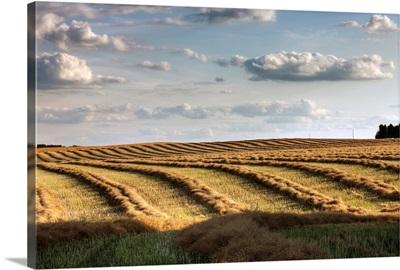 Clouds Over Canola Field On Farm, Central Alberta, Canada