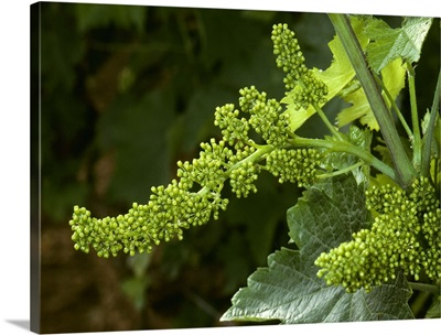 Cluster of wine grape flowers just before they begin to blossom, California