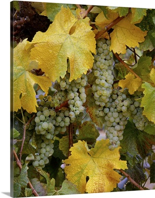 Clusters of mature Chardonnay wine grapes on the vine