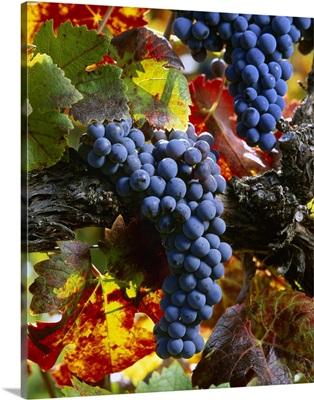 Clusters of mature, harvest ready Cabernet Sauvignon wine grapes on the vine