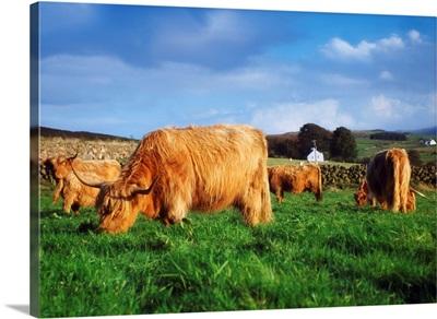Co Antrim, Ireland; Highland Cattle