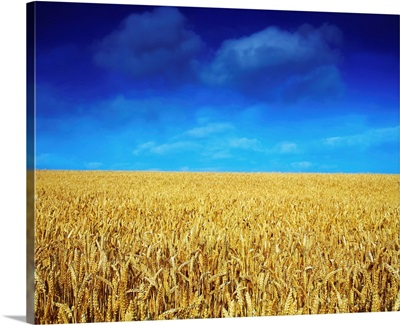 Co Louth,Ireland;Wheat Field