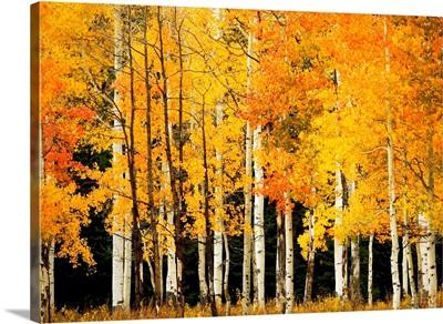 Colorado, Near Steamboat Springs, Buffalo Pass, Line Of Fall-Colored Aspen Trees