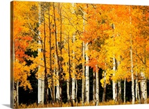 Colorado, Near Steamboat Springs, Buffalo Pass, Line Of Fall-Colored Aspen Trees