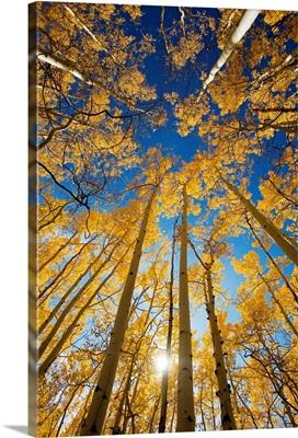Colorado, Near Steamboat Springs, Buffalo Pass, Yellow Aspen Tree Canopy