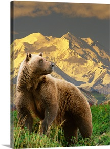 COMPOSITE Grizzly stands on tundra with Mt. Mckinley in the background, Alaska COMPOSITE