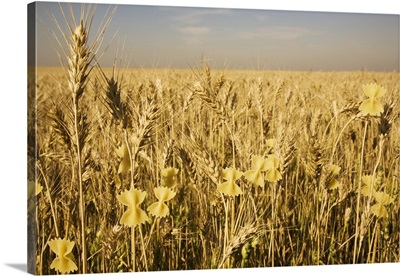 Conceptual image of pasta growing on wheat shafts, St. Albert, Alberta, Canada