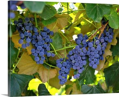 Concord juice grapes on the vine, Yakima Valley, Washington
