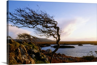 Connemara, Co Galway, Ireland; Windblown Tree