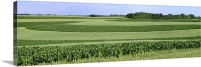 Contour strips of mid growth grain corn and oats with farm buildings in the distance