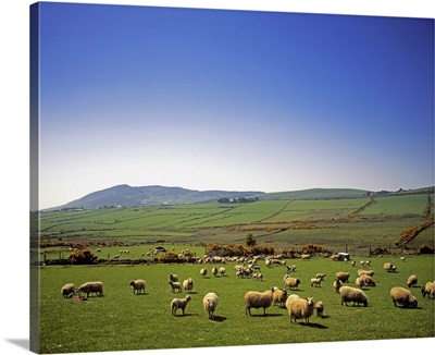 Cooley Peninsula, County Louth, Ireland, Sheep