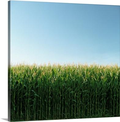 Corn Field And Sky, Abbotsford, British Columbia, Canada