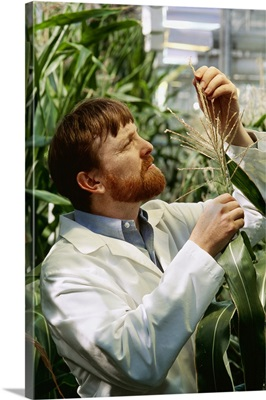 Corn research, researcher examining corn plants in a greenhouse, Iowa