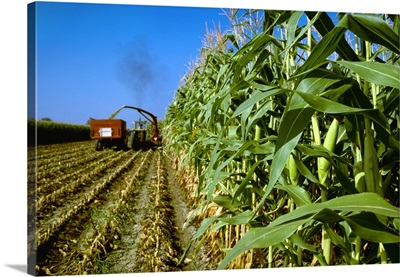 Corn, silage corn being harvested, chopped and loaded into truck, Colorado