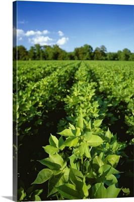 Cotton, Pre-bloom stage, Mississippi