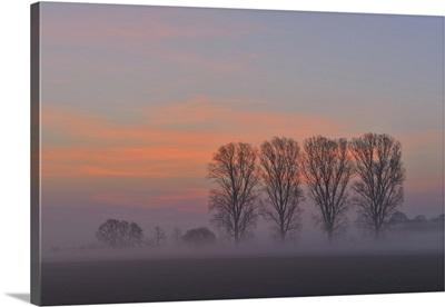 Cottonwood Tree Row At Sunrise, Hesse, Germany