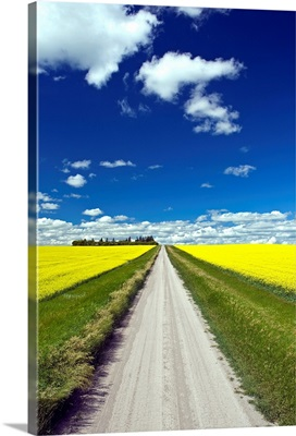 Country Road With Blooming Canola Fields On Both Sides, Manitoba, Canada