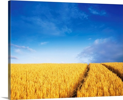 County Carlow, Ireland, Barley