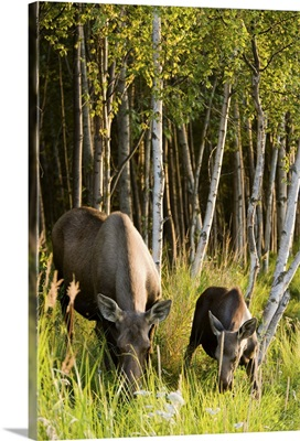 Cow and calf moose feeding along the Tony Knowles Coastal Trail