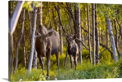 Cow and calf moose in Birch forest along the Tony Knowles Coastal Trail