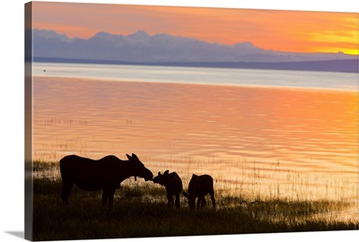 Cow and two calf moose feeding along the Tony Knowles Coastal Trail at sunset
