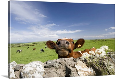 Cow, Dumfries And Galloway, Scotland, United Kingdom