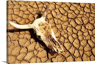 Cow Skull On Cracked Dry Mudflat