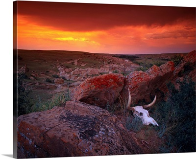 Cow Skull With Large Rocks In Field With Sunset, Alberta, Canada