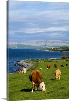 Cows Grazing On The Burren Coast Near Ballyvaghan; County Clare, Ireland