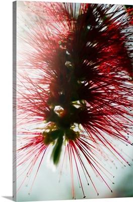 Crimson Bottlebrush (Callistemon Citrinus)
