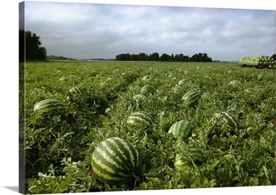 Crimson Sweet seedless watermelon field, Eastern Iowa