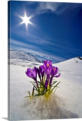 Crocus Flower Peeking Up Through The Snow In Spring, Alaska