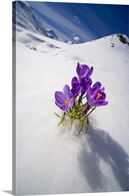 Crocus Flower Peeking Up Through The Snow In Spring, Southcentral, Alaska