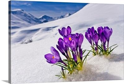Crocus flower peeking up through the snow. Spring. Southcentral Alaska