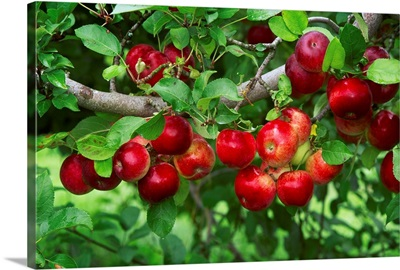 Crop of mature Jonathan apples on the tree, California