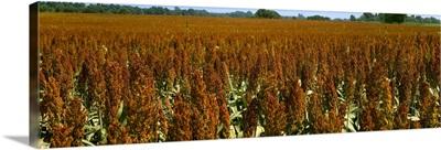 Crop of mid mature grain sorghum (milo)