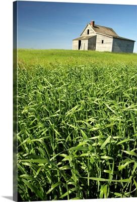 Crops And Abandoned Farmhouse, Near Leader, Saskatchewan, Canada