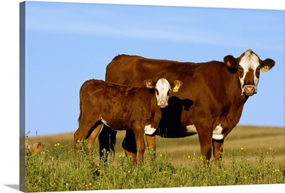 Crossbred cow and calf on a midsummer pasture