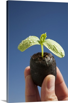 Cucumber Seedling With Water Droplets Held Up With Fingers