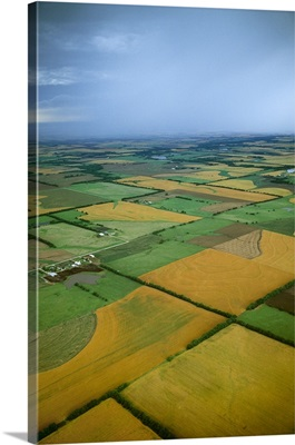 Cultivated springtime agricultural fields with golden fields of ripening winter wheat