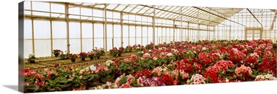 Cyclamen flowers growing in a commercial greenhouse, Santa Barbara, California