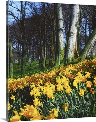 Daffodils (Narcissus); Flowers In A Forest