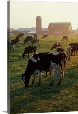 Dairy Cattle Grazing