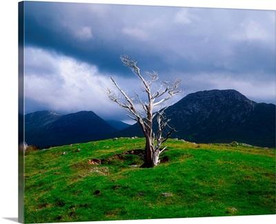 Dead Tree, Connemara, County Galway, Ireland