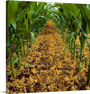 Dead weeds between the rows of  genetically altered herbicide resistant corn
