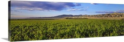 Desert table grape vineyard showing Spring foliage growth, Mecca, California