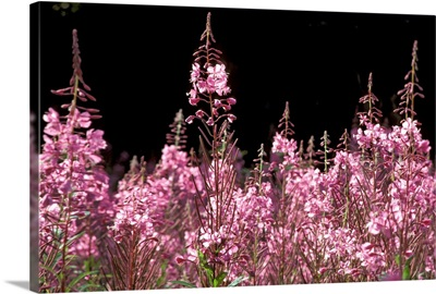 Detail of Fireweed in Bloom Alaska Summer