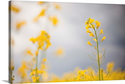 Detail Of Flowering Canola, Rocky Mountain House, Alberta, Canada